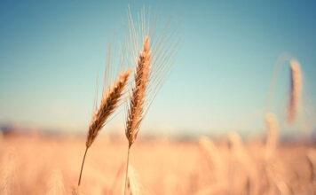 W jaki sposób może być realizowana ochrona pszenicy